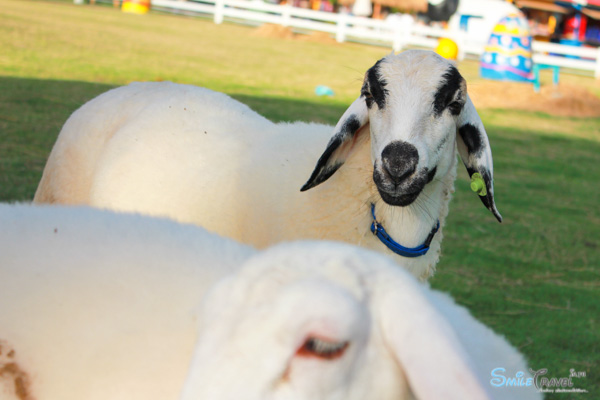 Pattaya Sheep Farm-11