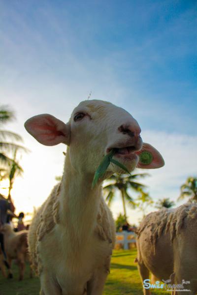 Pattaya Sheep Farm-12