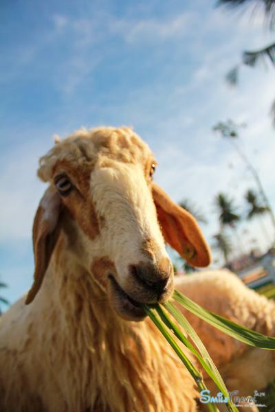 Pattaya Sheep Farm-13