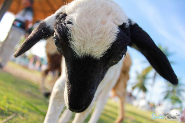 Pattaya Sheep Farm-14