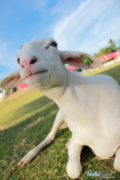 Pattaya Sheep Farm-8