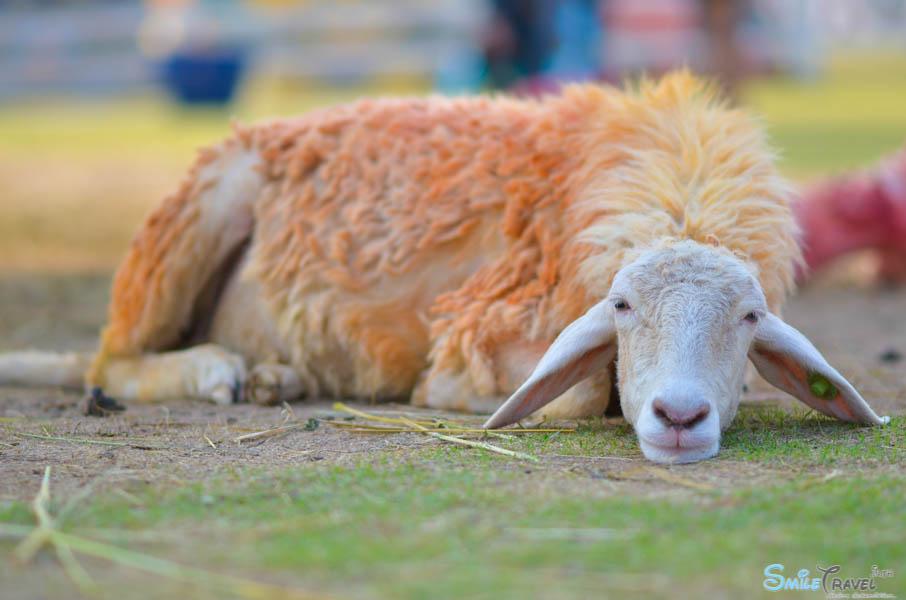 Sheep Farm Pattaya-10