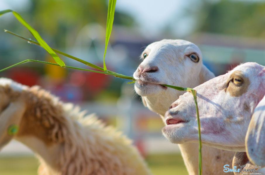 Sheep Farm Pattaya-3