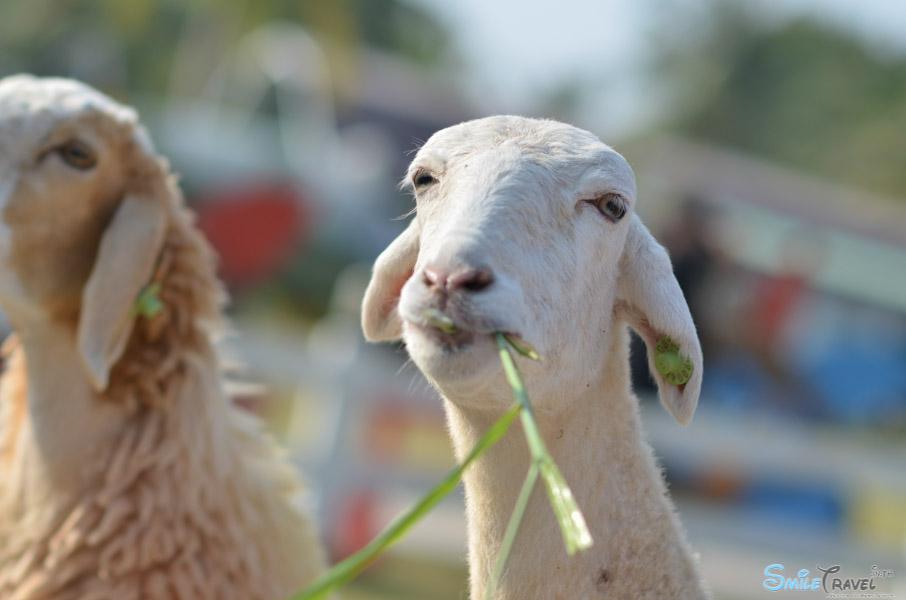 Sheep Farm Pattaya-4