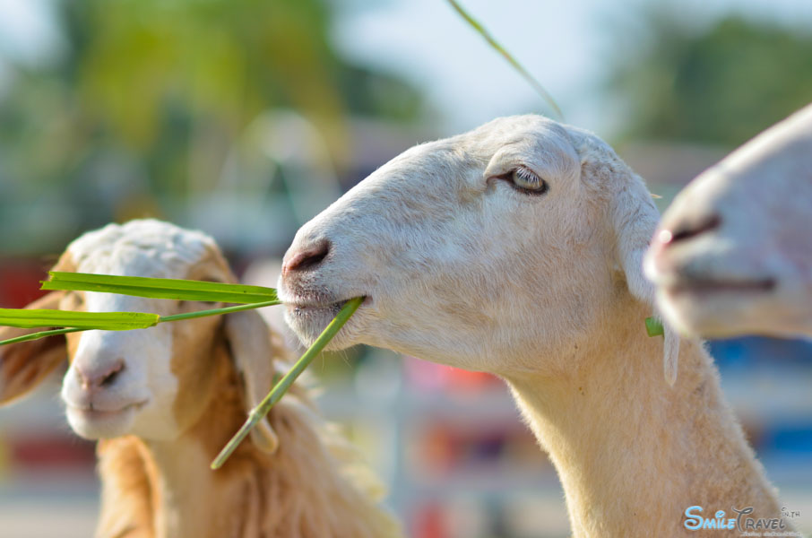Sheep Farm Pattaya-5
