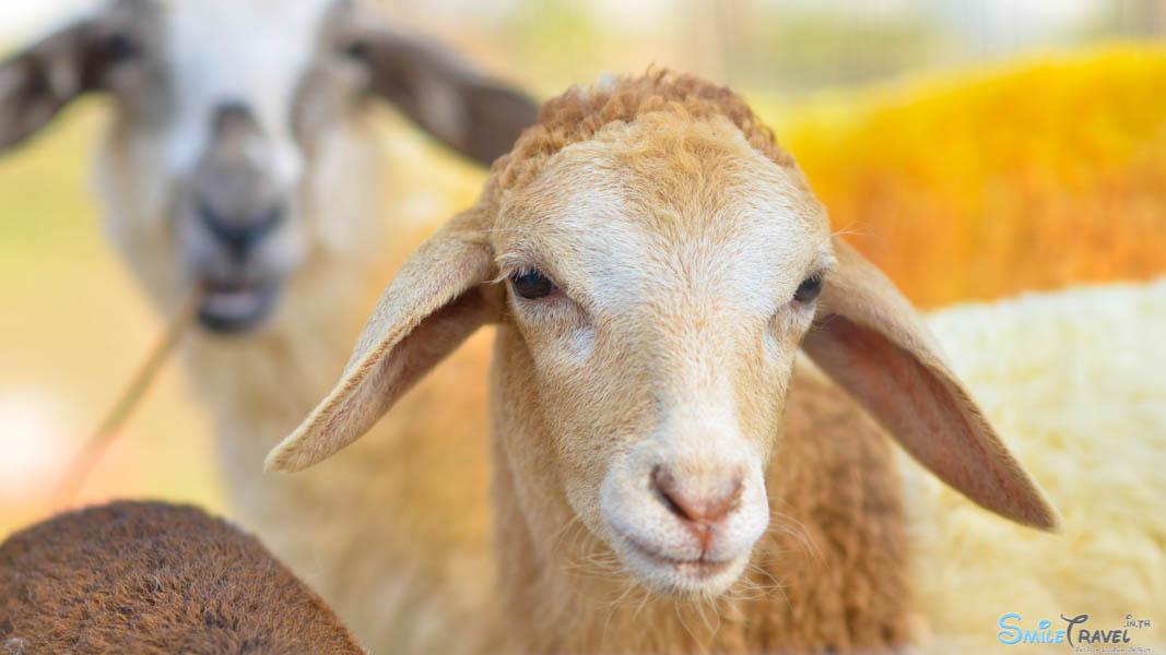 Sheep Farm Pattaya-7