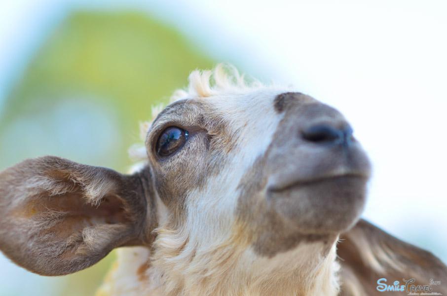 Sheep Farm Pattaya-8